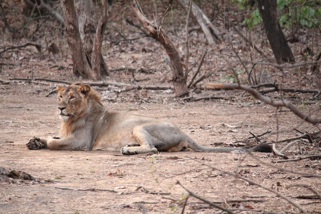 Gir Forest National Park: Posing in all his glory