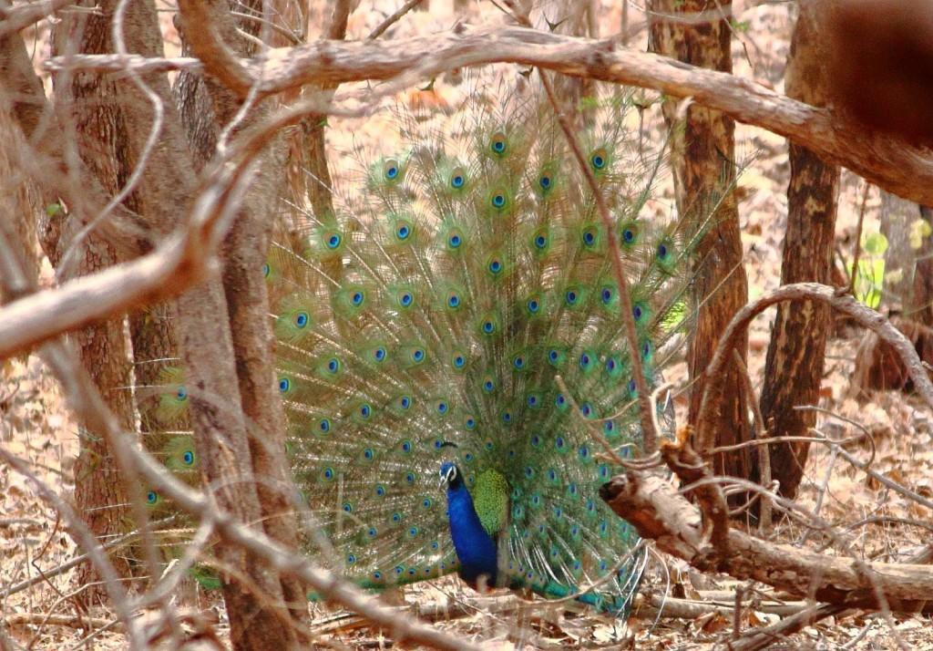 Gir Forest National Park: Dancing peacock