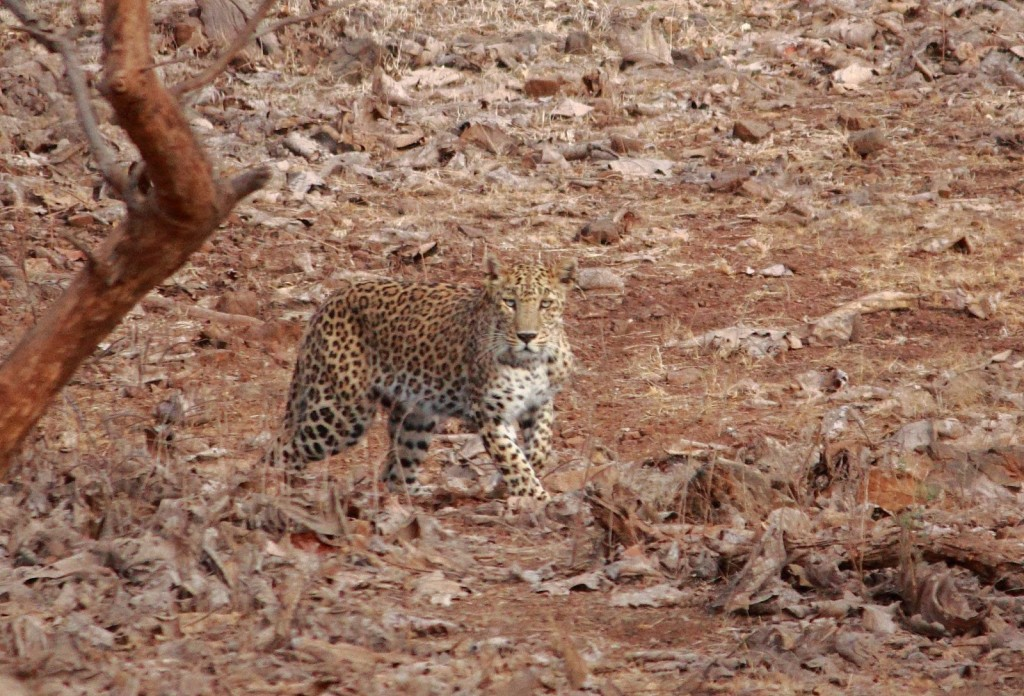 Gir Forest National Park: Upclose and personal!