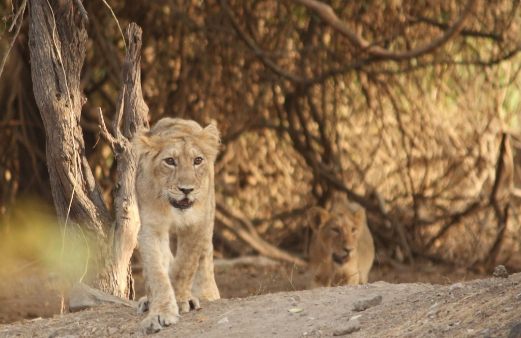 Gir Forest National Park: I need a drink... of water!