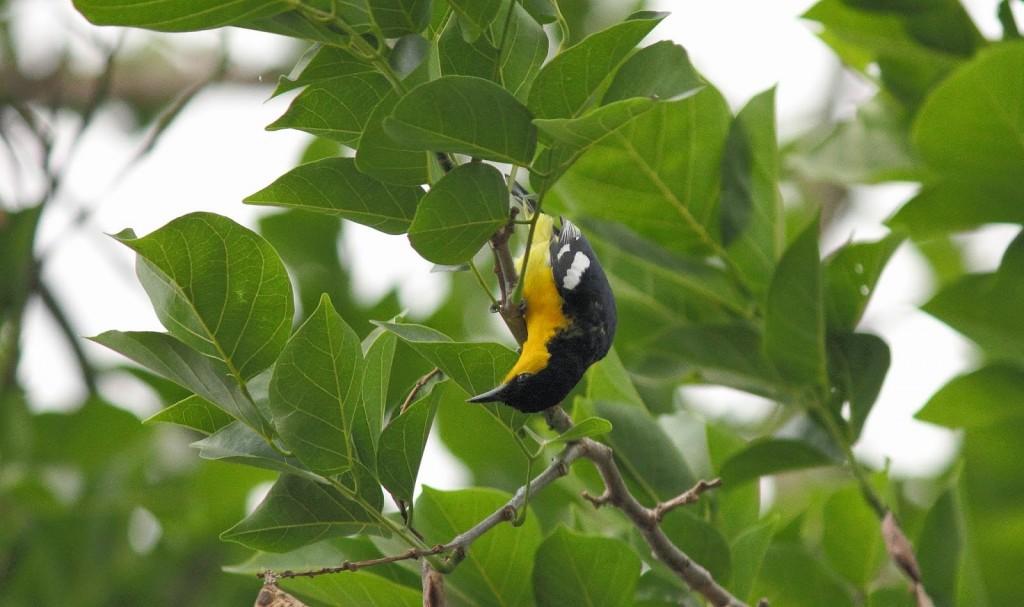 Gir Forest National Park:Common Iora