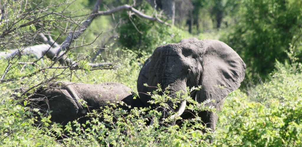 Kruger National Park: First sighting of the tuskers