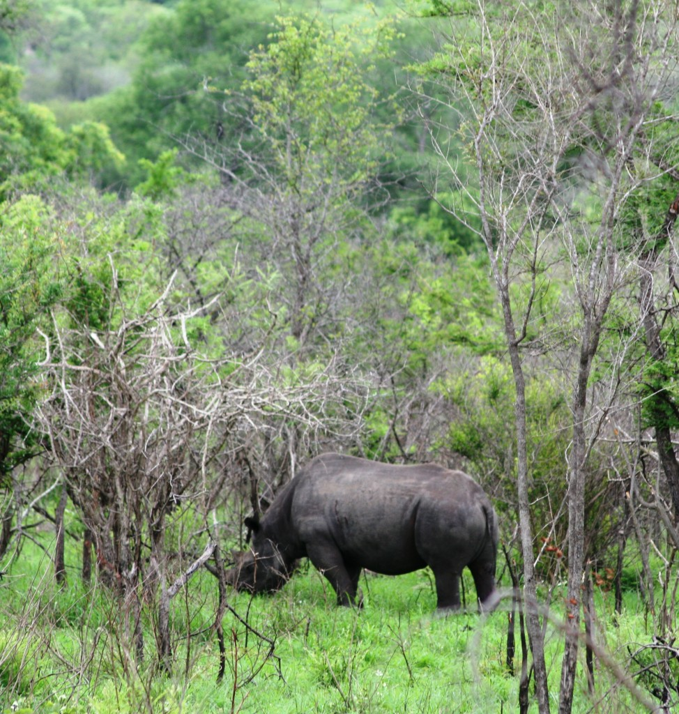 Kruger National Park: Rhino - he was camera shy!
