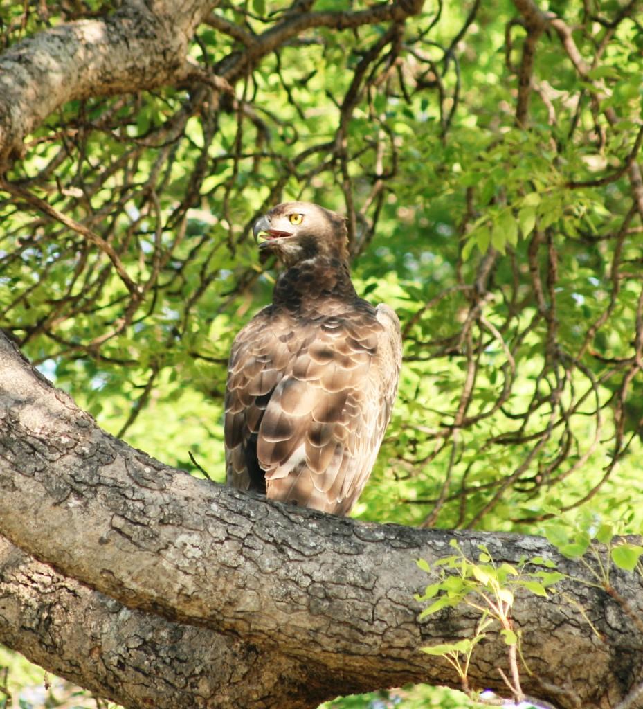 Kruger National Park: Eagle