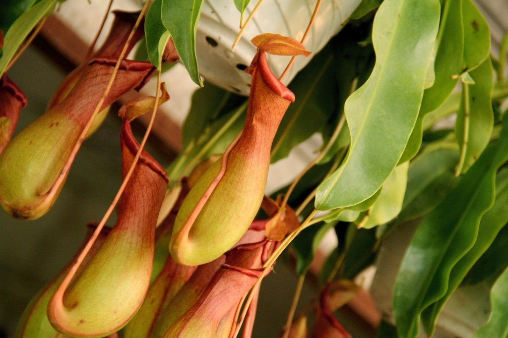 Hong Kong: Pitcher plant at the Mongkok Flower Market