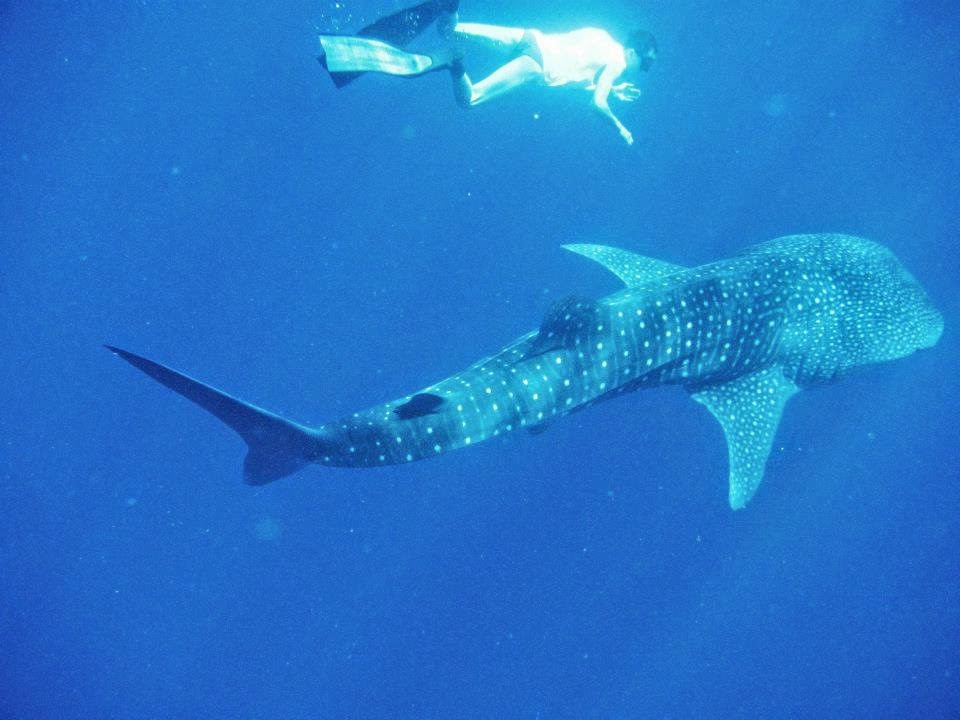 Snorkelling with the whale shark at Maldives... calorie burning excitement!