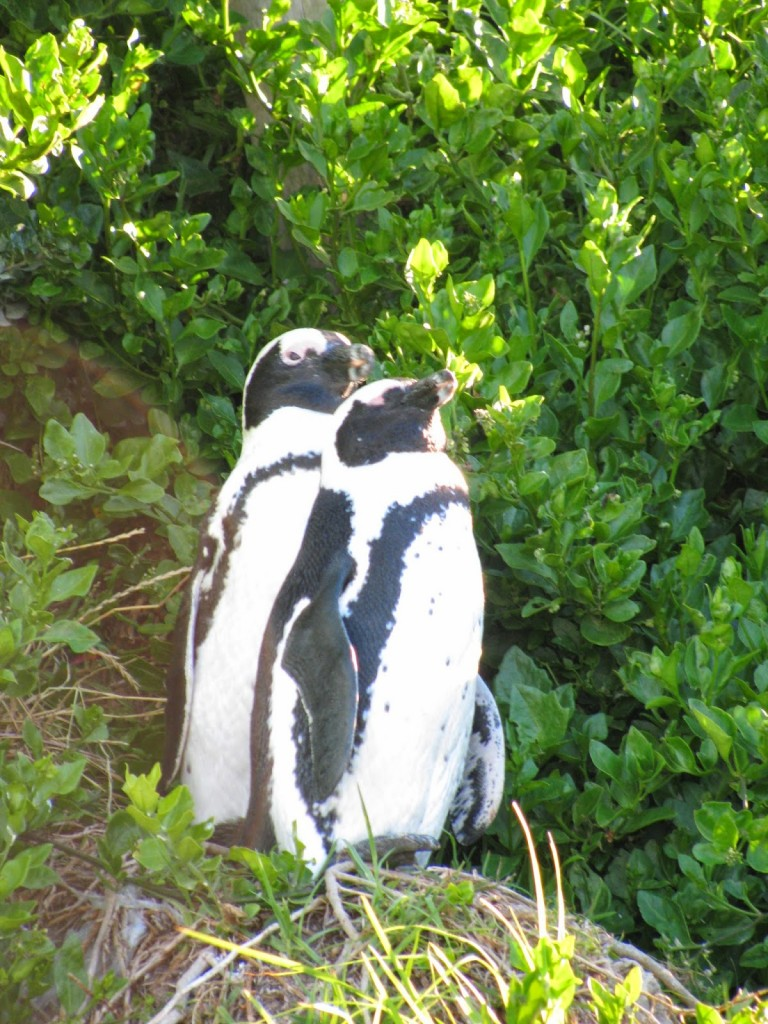 Cape Town: Penguins select their partner and stay with him/her for life
