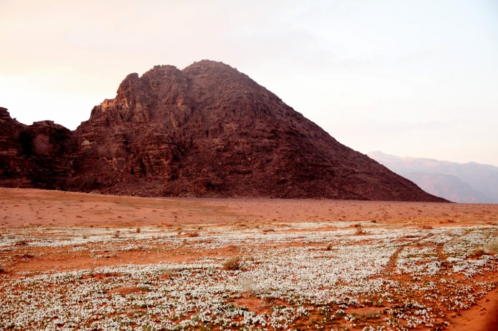 Wadi Rum: Spring time - white flowers in the desert