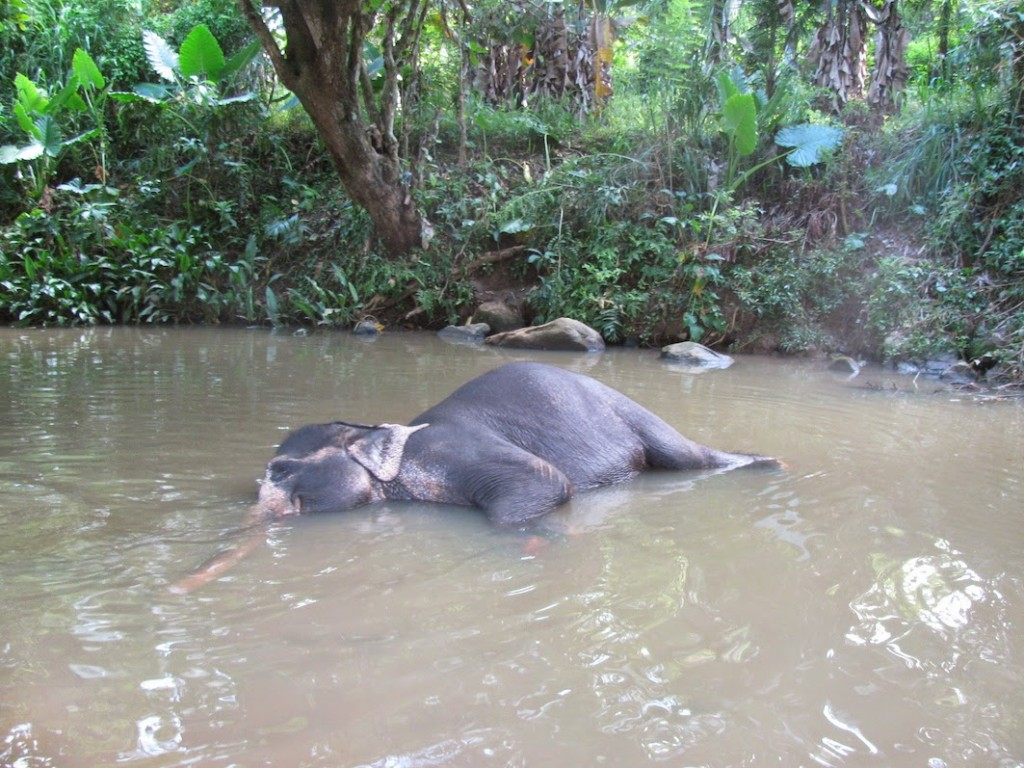 Millennium Elephant Foundation: Say Hello to Lakshmi