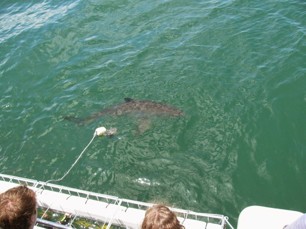 Gansbaai: Shark cage diving