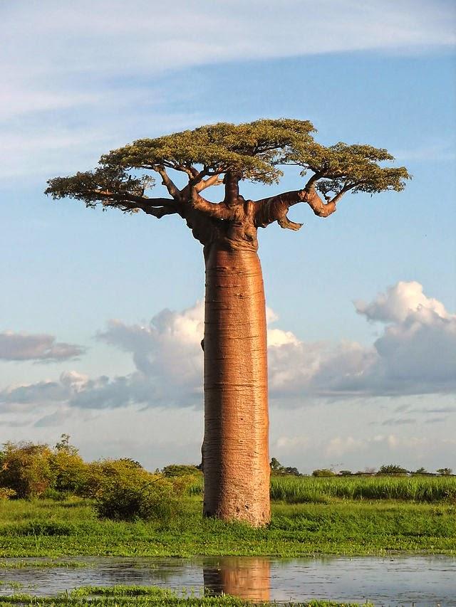 Baobab Tree (Pic: Wikipedia)