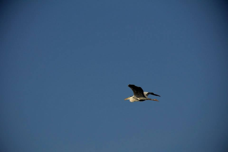 Bhigwan: Heron