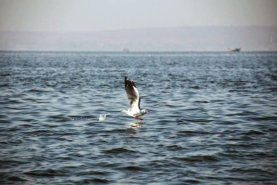 Bhigwan: Sea gull