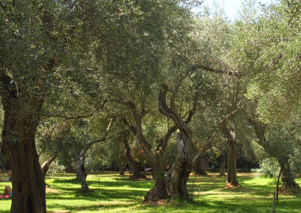 Lokrum Island: Olive grove