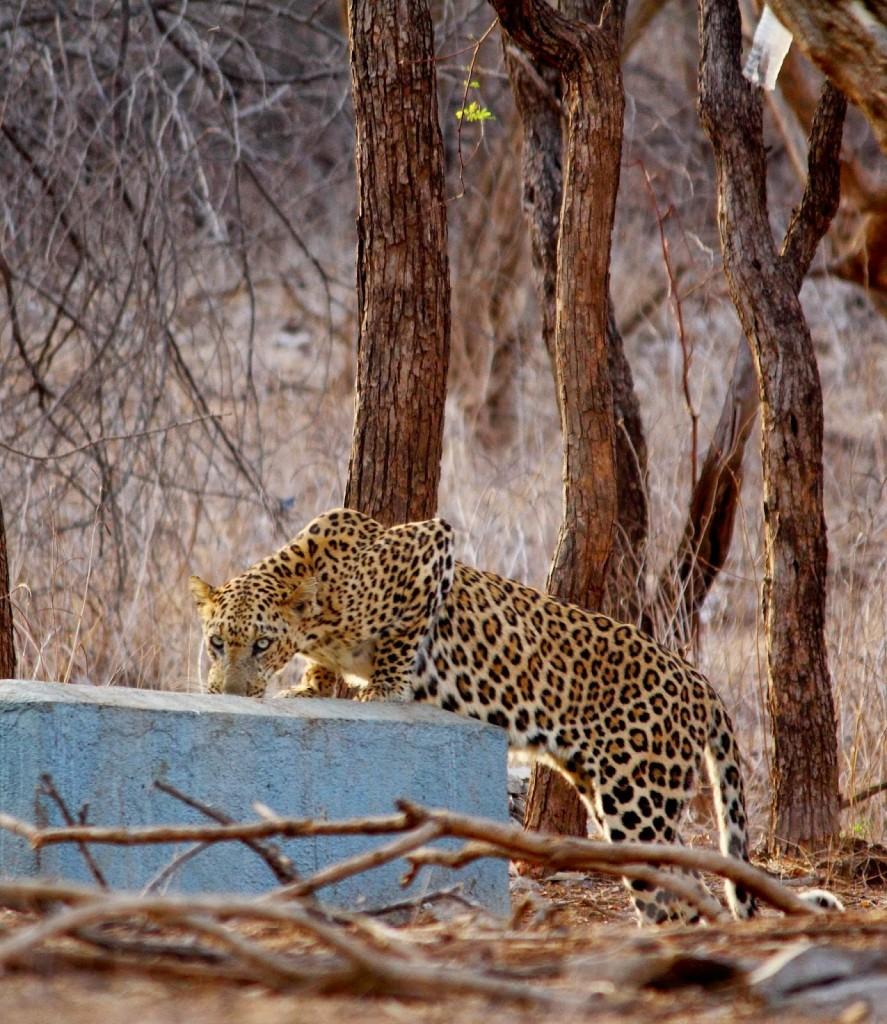 Gir: Leopard