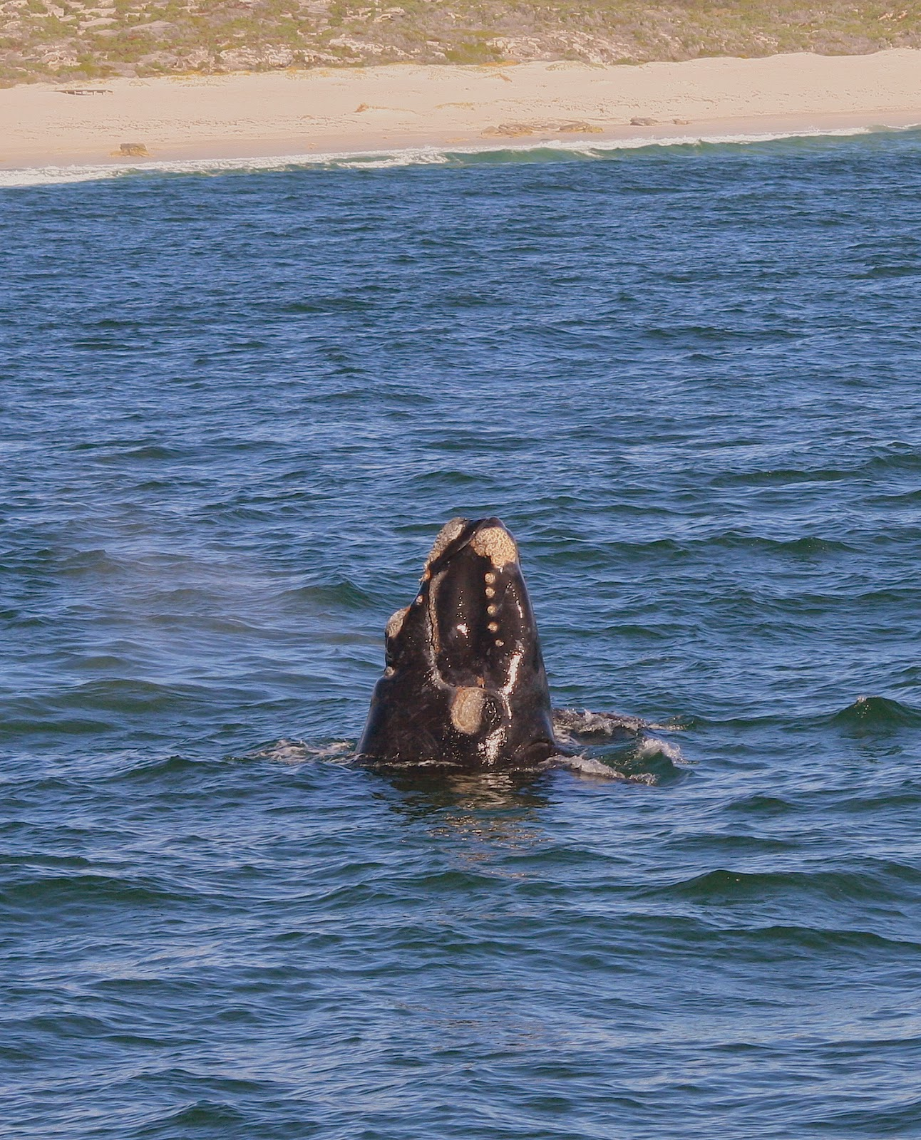Southern right whales at Hermanus