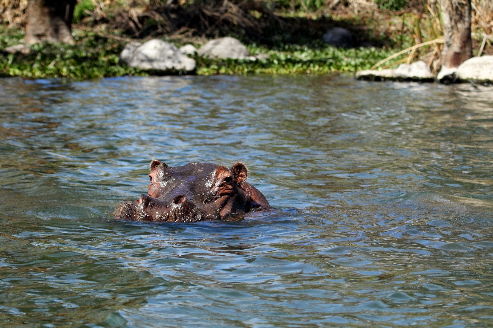 Hippopotamus at Lake Naivasha National Park