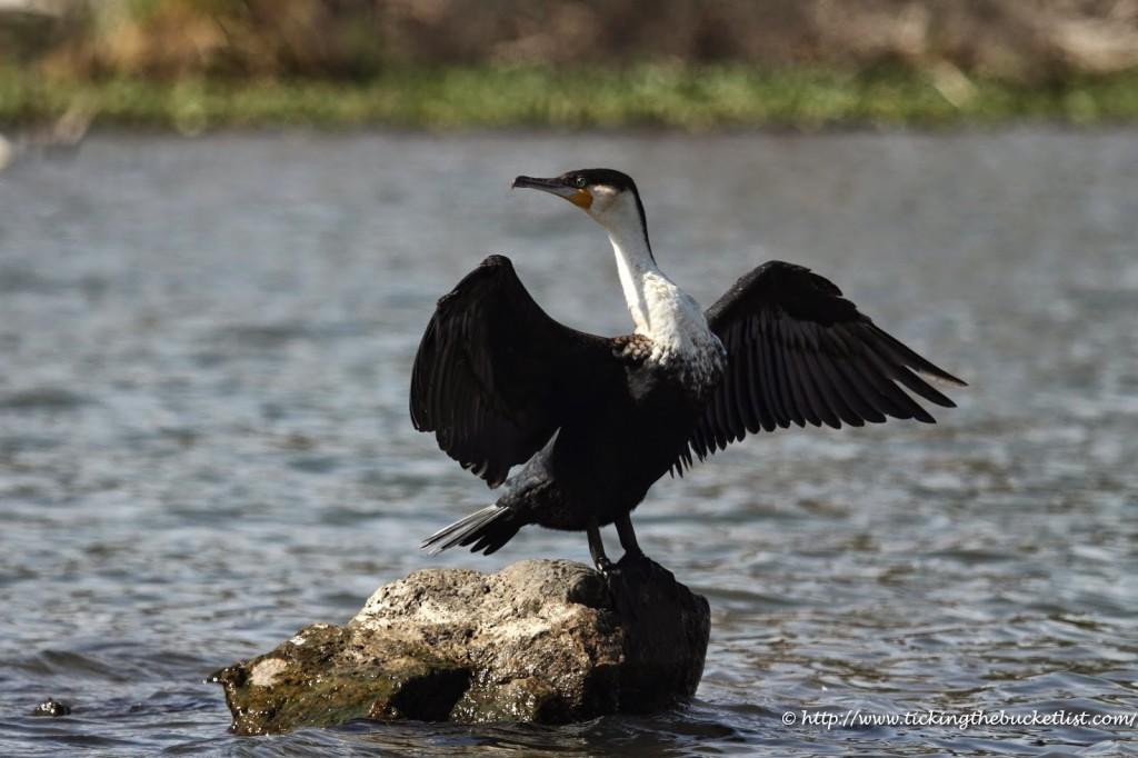 Cormorant at Lake Naivasha