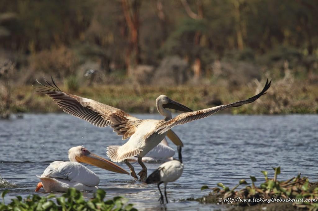 Bird in flight at Lake Naivasha National Park