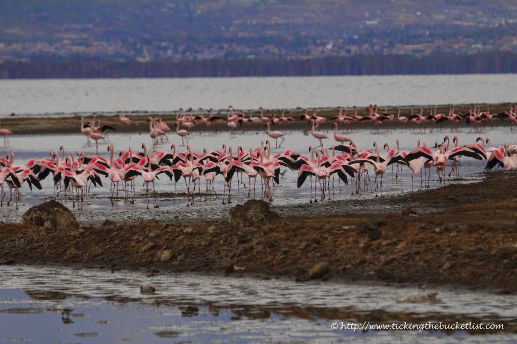 A flock of flamingos settles close the safari vehicle