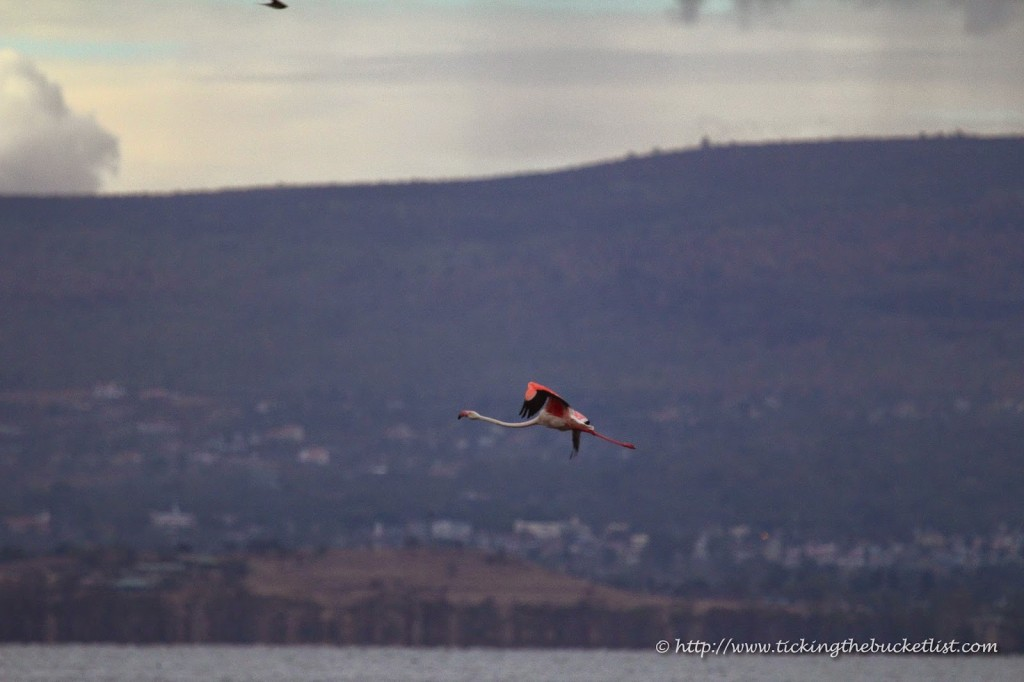 A lone flamingo flying over Lake Nakuru