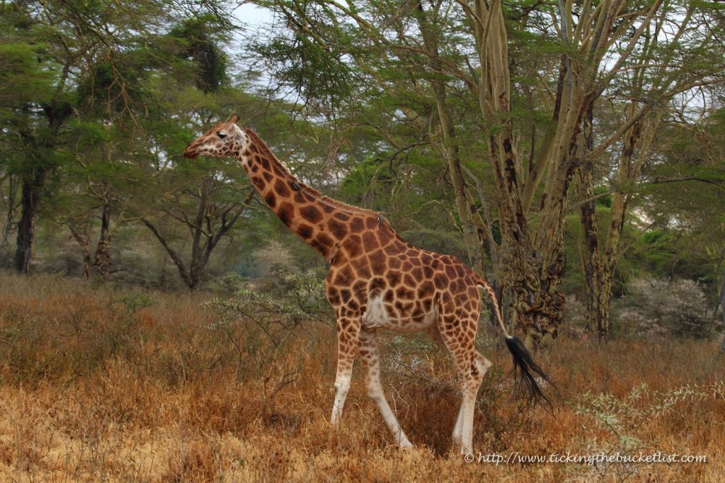 Rothschild's giraffe at Lake Nakuru National Park