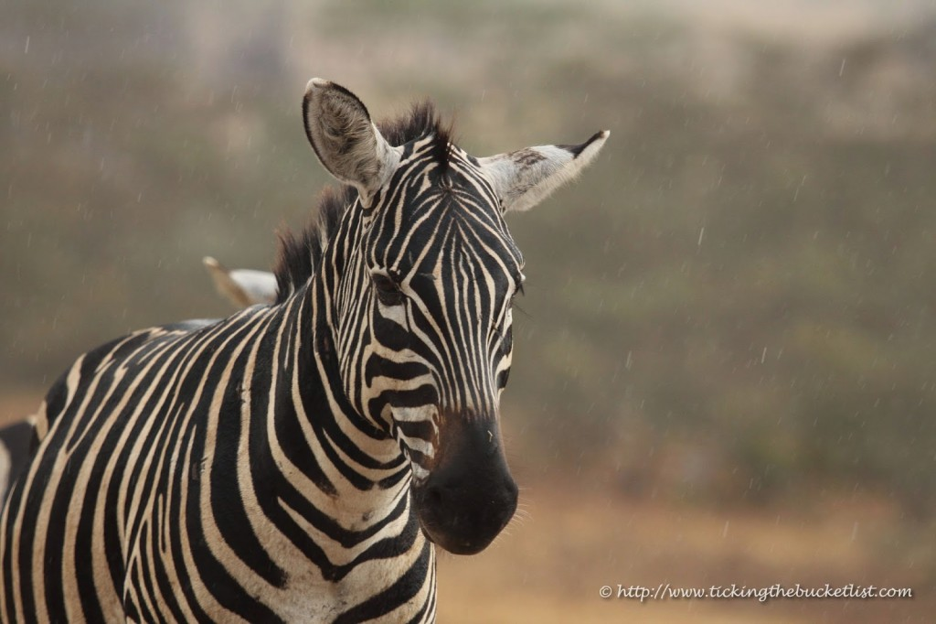 Zebra washing off the dust in the rain