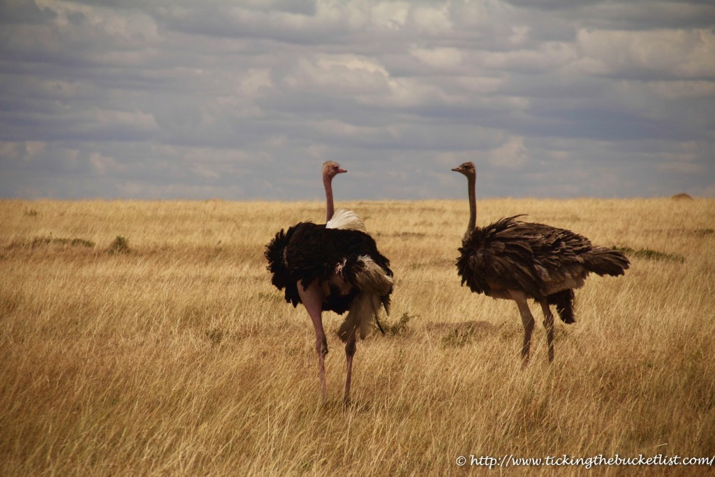 Ostrich couple having a romantic conversation
