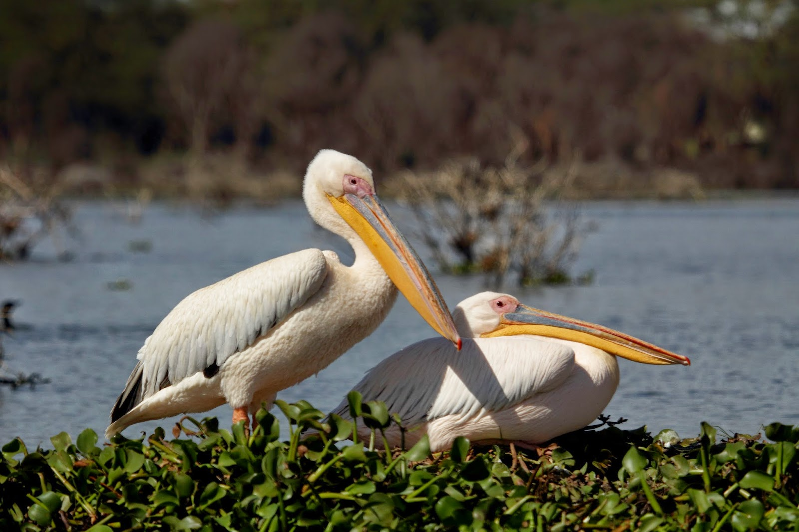 Pelicans at Lake Naivasha National Park