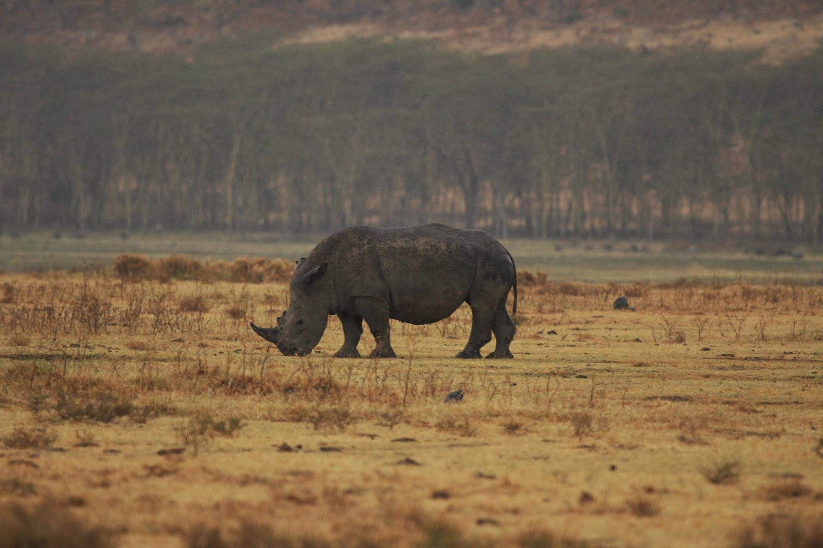 Rhino at Lake Nakuru National Park