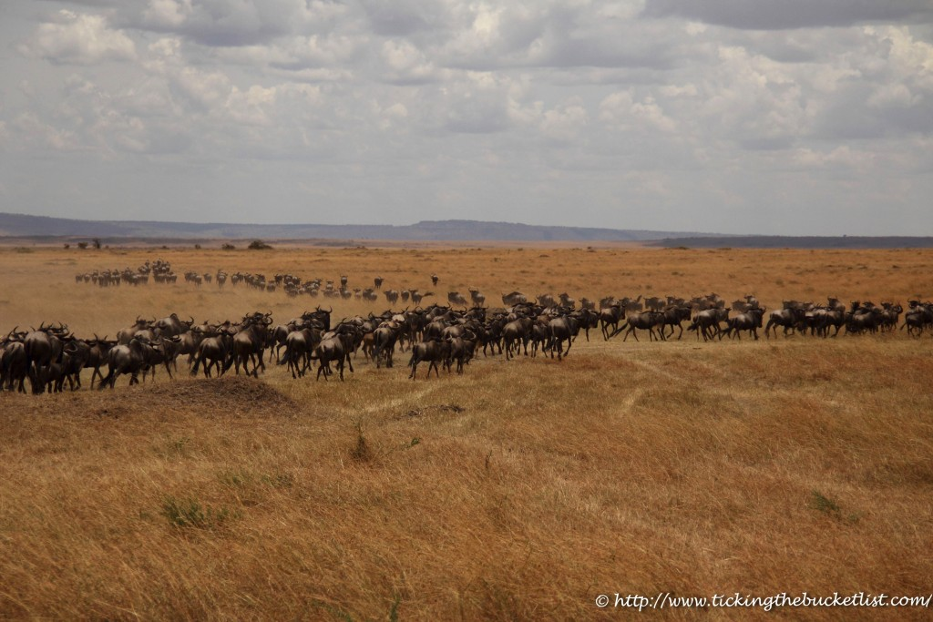 Wildebeest Scouts