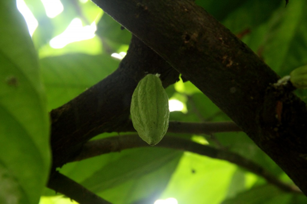 Raw cocoa fruit
