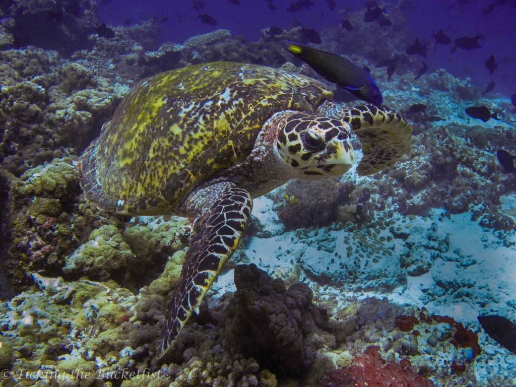 Sea turtle, shot using a point and shoot in the Dicapac