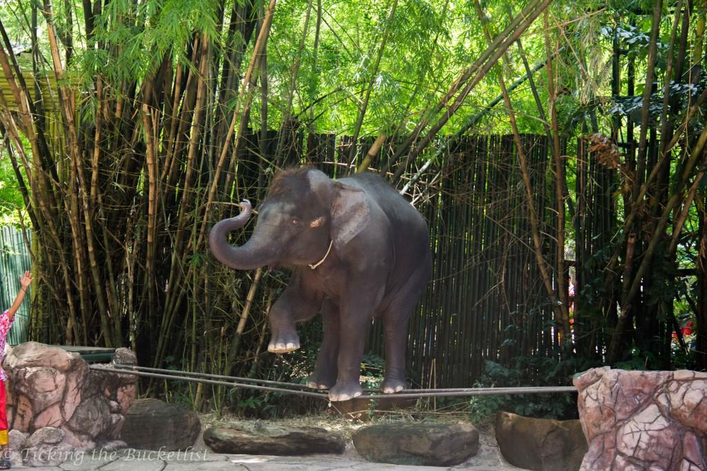 Baby elephant rope walking