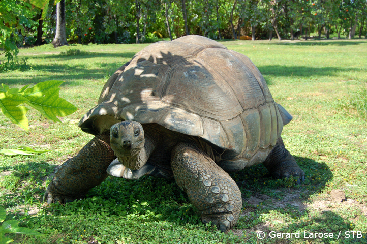 Giant tortoise (pic courtesy: Seychelles Tourism Board)