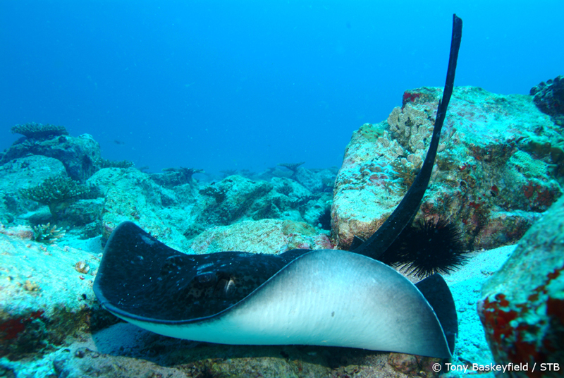 Sting Ray...keeping my fingers crossed to see many more of these (pic courtesy: Seychelles Tourism Board)