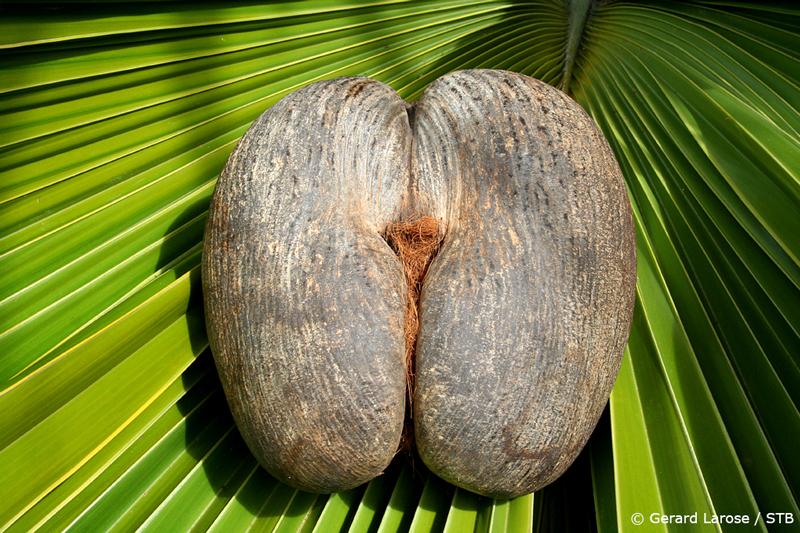 Coco de Mer fruit (pic courtesy: Seychelles Tourism Board)