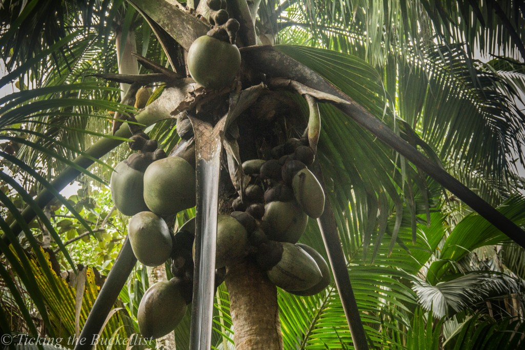 Female Coco de Mer...laden with fruits